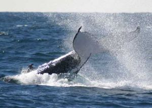 Whale Watching Sydney - eAccommodation
