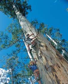 Dave Evans Bicentennial Tree - eAccommodation