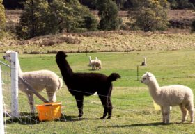Maydena Country Cabins Accommodation  Alpaca Stud - eAccommodation
