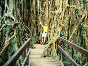 Curtain Fig Tree - eAccommodation