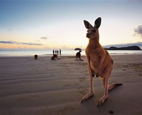 Wallabies on the Beach at Cape Hillsborough