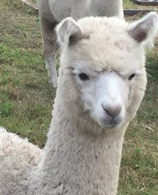 Storybook Alpacas - eAccommodation