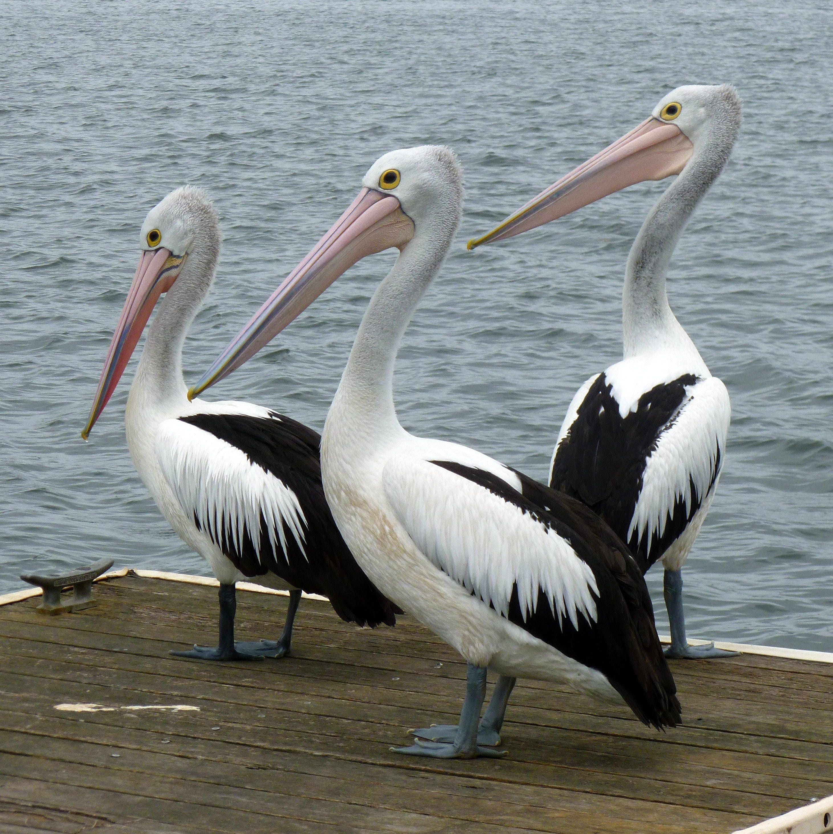 Pelican Feeding - eAccommodation