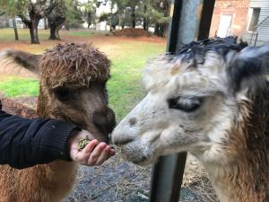 Alpaca Farm Experience at Crookwell - eAccommodation