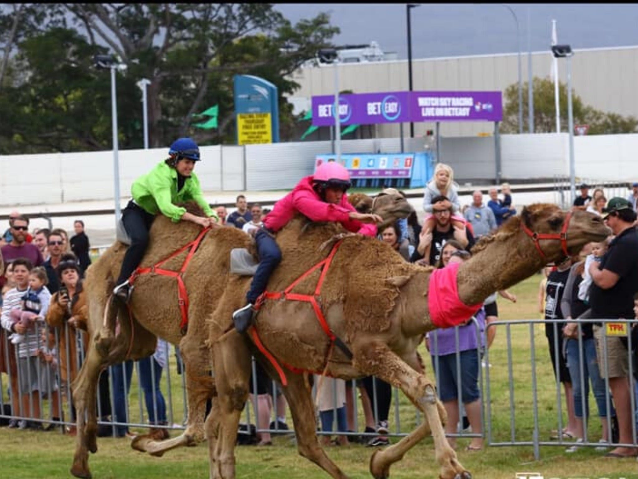 Camel Races at Gosford Showgrounds - eAccommodation